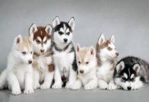 """Tìm hiểu về chó Husky – """"Quán quân"""" của chủng tộc Đại Ngáo"""